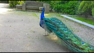 Peacock with dancing