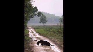 Black Leopard drinking water after fresh kill