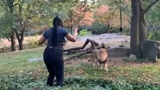 Woman risks life after invading lions' enclosure at Brooklyn Zoo