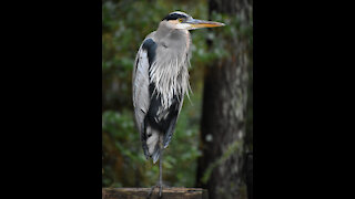 Hank the Great Blue Heron