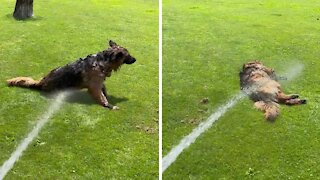 Dog hilariously lays on ground to get sprayed by hose