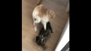 Shortest Cat Fight in History [funny sound]