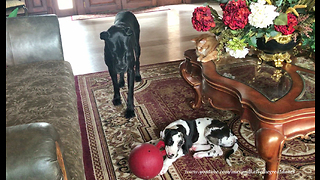 Cat enjoys watching Great Danes play together