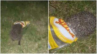 Pinnsvin går hodestups etter chips!