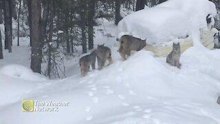Lynx family trots through the snow