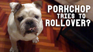 Chubby bulldog tries his best to perform 'rollover' for treats
