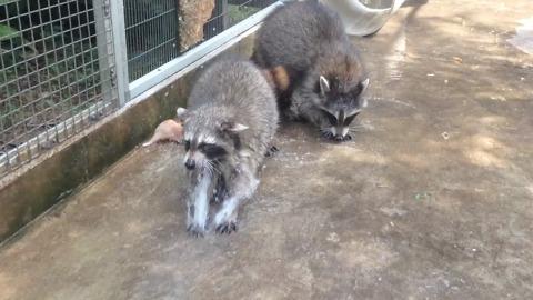 Baby raccoon patients play in water to get better for the wild