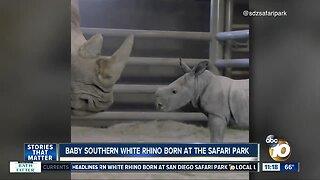 Baby southern white rhino born at Safari Park