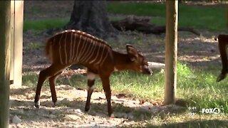 Zoo welcomes new Eastern Bongo Antelope