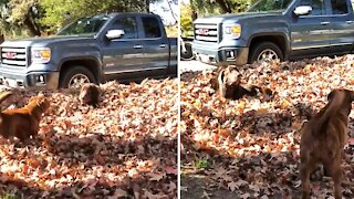 Happy doggies play in a huge pile of leaves