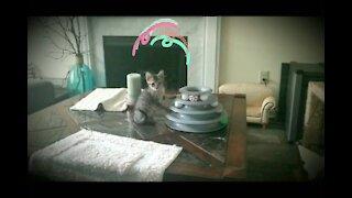 kitten Bengal plays