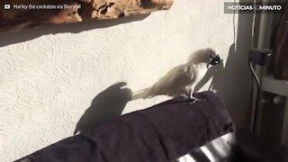 Cacatua fica confusa com própria sombra