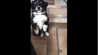 Puppy falls backwards while praying for a treat