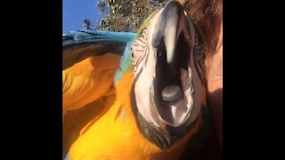 Jealous macaw steals limelight from conure's moment