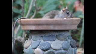 EWW! 7 repulsive things you need to know about roof rats - ABC15 Digital