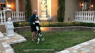 Jumping Great Dane puppy enjoys Florida Christmas lights