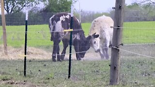 Cow best friends run and play with complete joy at their new sanctuary