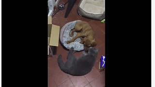 Cat wins bed back from playful puppy
