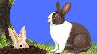 Rabbit sounds - Rabbit noises