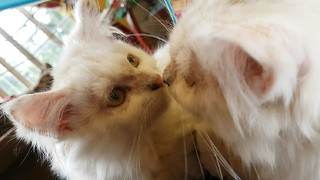 Confused kitten tries to find his mirror reflection
