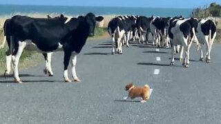 Tiny dog is excellent at herding cows
