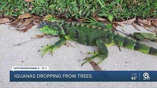 Falling iguanas