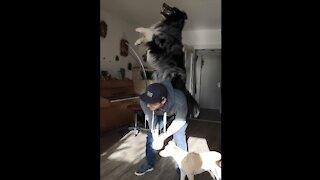 Australian Shepherd performs array of mind-blowing tricks