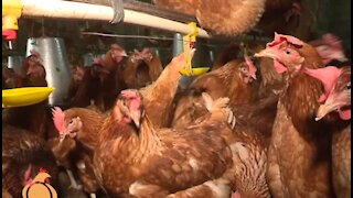 How to Start a Chicken Farm Business - Poultry