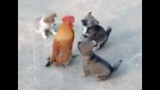 Chickens fight with Dogs