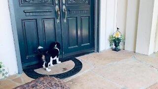 Tiny puppy hears huge Newfoundland knocking at the door