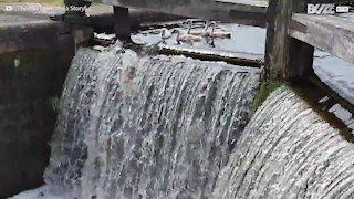 Cigni si divertono a saltare la cascata