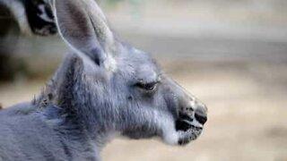 Canguru é visto a entrar num centro comercial na Austrália