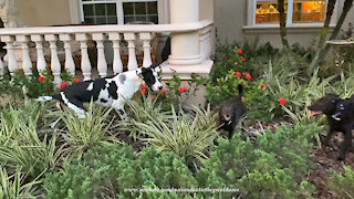 Great Dane races through the garden with his dog friends
