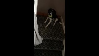 Dog learns how to play fetch by itself