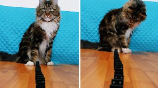 Smart cat likes to play with Dominoes