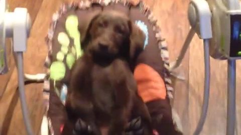 Labrador puppy chills out in baby swing
