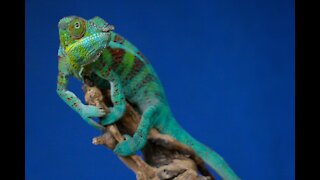 beautiful Colored Chameleon