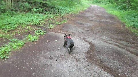 Early morning walk with a frenchie