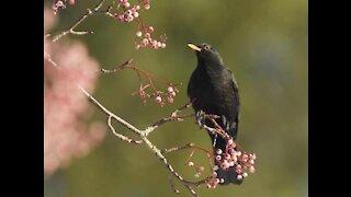 amazing blackbird singing on the nature