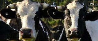 Company creates coronavirus drug from cows