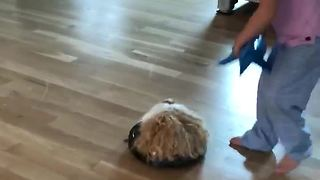 Guinea Pig goes on thrilling Roomba ride