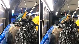 Colourful Macaw Rides Bus On Owner's Shoulder