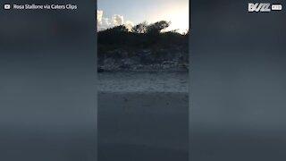 Lobo brinca com jovem na praia