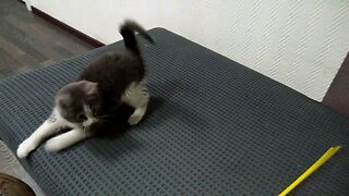 Playful Kitten Jumping And Catching A Toy