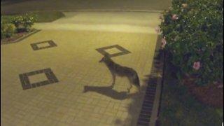 Coyotes spotted in Boca Raton neighborhood