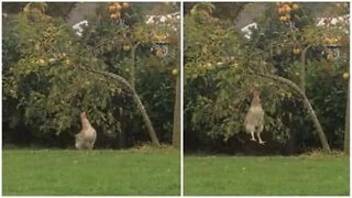 Chicken jumps to get apple from tree