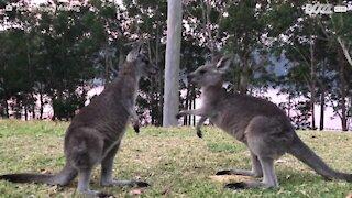 Anche i canguri giocano alla lotta