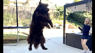 Enormous Newfoundland Plays Ball With His Family