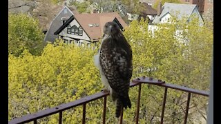 hawk hanging out on fire escape