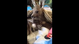 Baby kangaroo lovingly grooms her kitty cat best friend